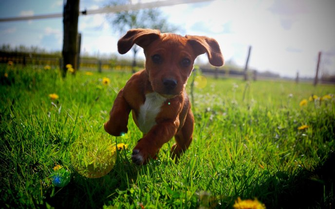 A cute brown puppy running in the grass