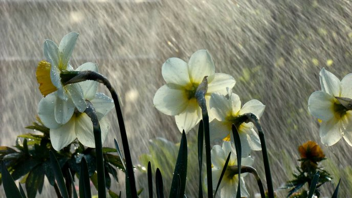 Download Wallpaper Torrential rains over the white daffodils in the garden