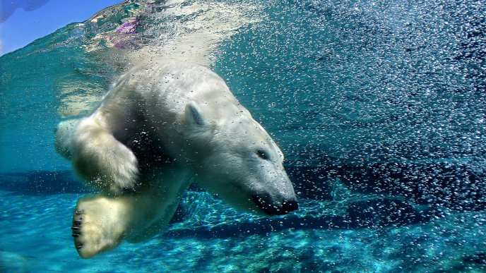 Polar bear swims underwater - Animal wallpaper