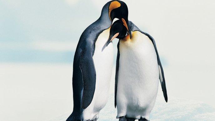 Download Wallpaper Penguins In Love