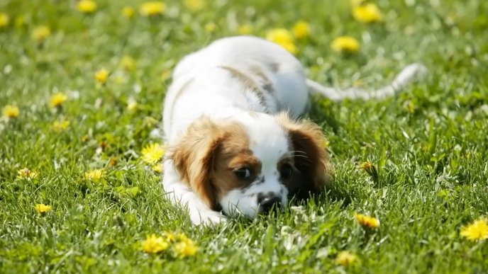 White dog play in green grass with yellow flowers
