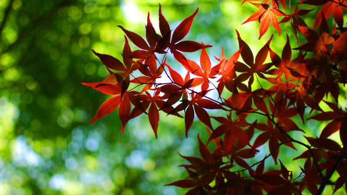 Branches with red leaves - HD wallpaper