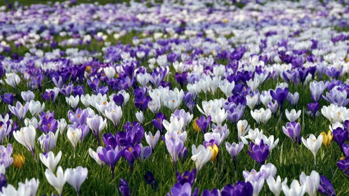 White and purple crocus on a field