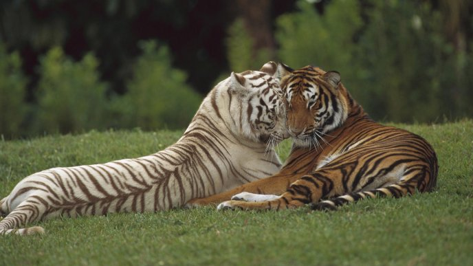 Brown and white tigers on grass - Tigers in love