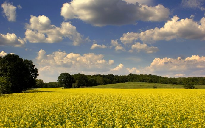 Yellow field - spring flowers in the nature
