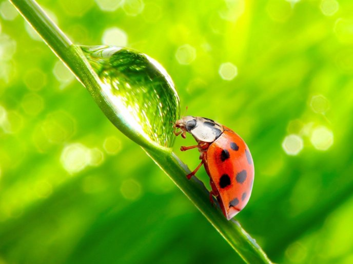 Ladybug and a big obstacle - a drop of water