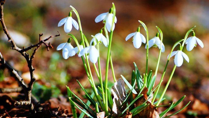 Good morning spring - Beautiful snowdrops in the garden