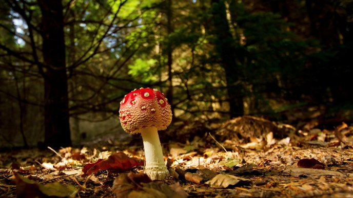 Poison red mushroom in the forest - Autumn season