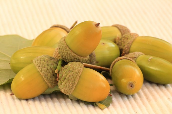 Green acorns - Autumn fruits in the forest