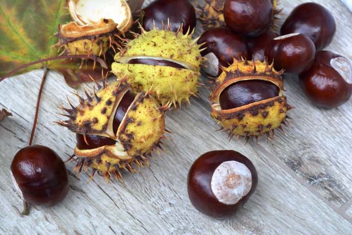 Wild chestnuts on the table - Autumn fruits