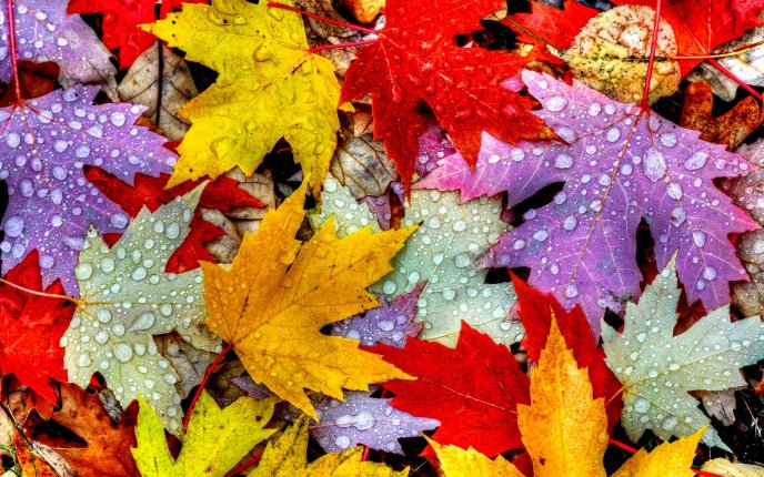 Big water drops on the Autumn leaves - HD nature wallpaper