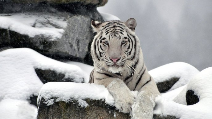 Download Wallpaper Wild white tiger on a rock - Professional photo