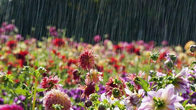 Garden Full With Flowers Summer Rain Wallpaper