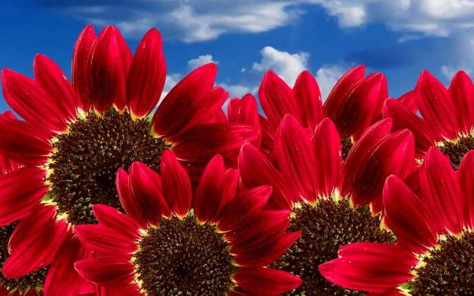 Special red sunflowers - Beautiful summer flowers