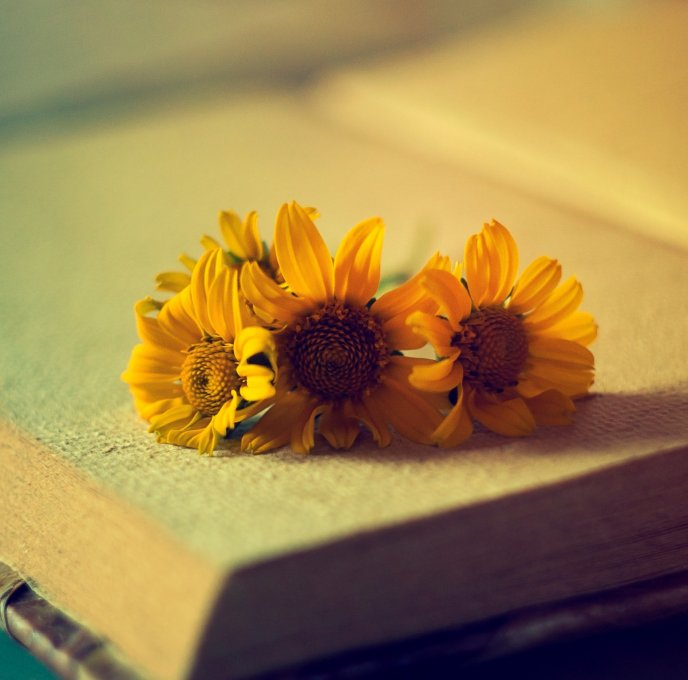 Three small and beautiful sunflowers in a book -HD wallpaper