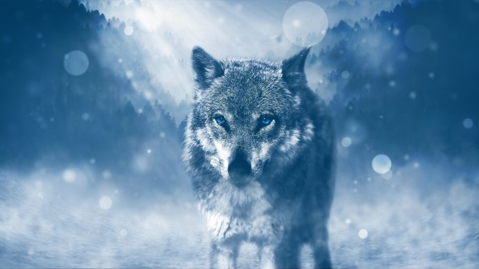 Wonderful wild wolf with blue eyes -Cold night in the forest