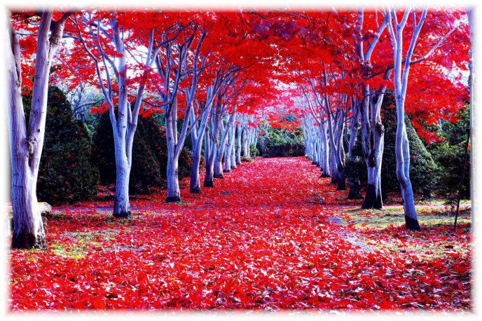 Red forest in a wonderful Autumn season - HD wallpaper