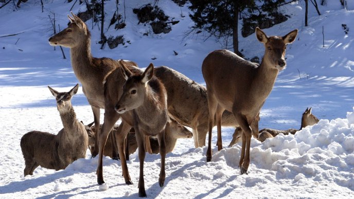 Deer family in the snow - Winter season wild animal