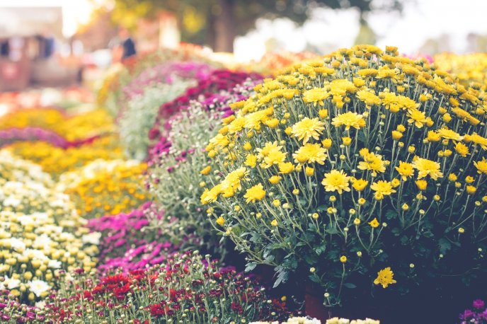 Autumn beautiful flowers - Colorful Chrysanthemums