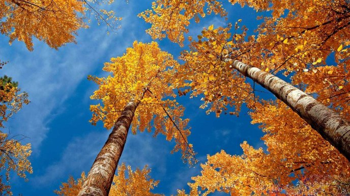 Tall trees - Autumn season time wonderful nature