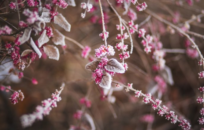 Frozen pink flowers and leaves - HD winter season wallpaper