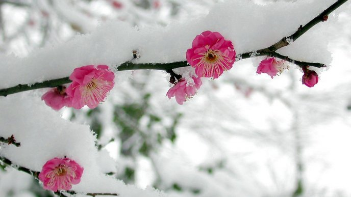 Blossom cherry tree in winter season - Cold snow