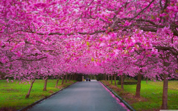 Wonderful pink flowers in the park - Blossom tree cherry