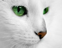White cat close up