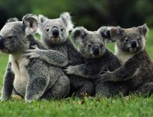Koala - perfect family photo