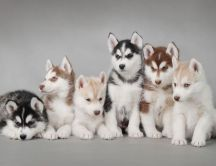 Six Husky Puppies