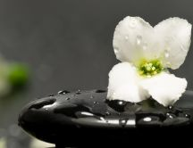White flower on a black stone