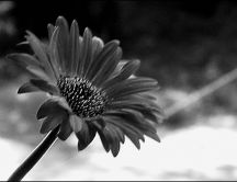 Black and white gerber flower