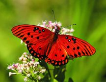 Beautiful red butterfly with black dots on a flower