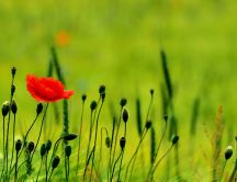 Red poppy flower on a green poppy field