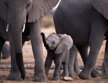 Baby elephant with his parents