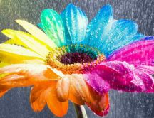 Rain over a rainbow flower