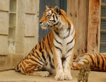 Sweet wild animal - tiger