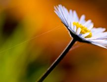 Daisy white flower with spider
