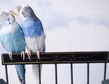 Love birds - beautiful two blue parakeets