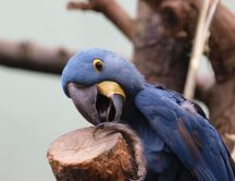 Blue parrot close up