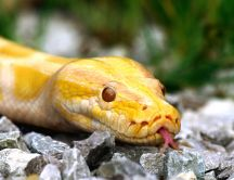Yellow snake looking at you - macro