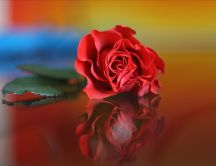 Red rose on a glass table - mirror