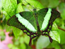 Green insect - beautiful butterfly on a leaf