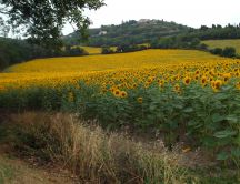 Nature landscape - sunflowers field