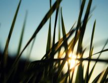 Sunrise through the fresh grass