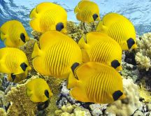 School of yellow fish HD wallpaper
