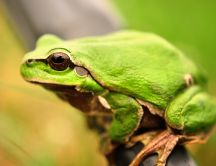 A green frog sitting on a bar HD wallpaper
