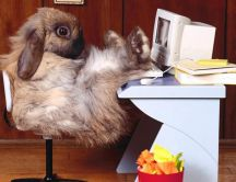 Fluffy rabbit on the office HD wallpaper