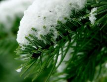 Snow on a pine branch HD wallpaper