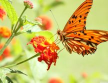 An orange butterfly on an orange flower HD wallpaper